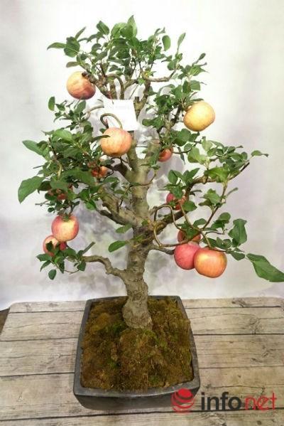 Cây táo này có thể chơi được khoảng 3 tháng.