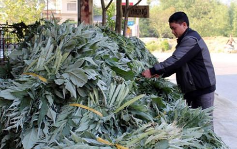 Từ việc bán lá tươi, người trồng atiso ở Sa Pa thu về hàng tỷ đồng mỗi năm  (Ảnh: Báo Lào Cai)