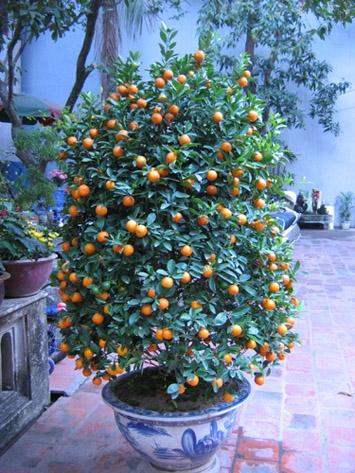 Cây quất cảnh, cây đào cảnh thường được bày trong nhà mỗi dịp Tết đến.