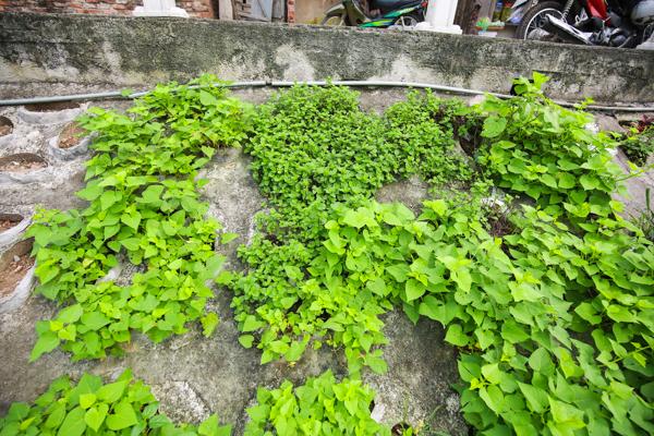 Những cây mồng tơi xanh tốt bắt đầu cho thu hoạch.