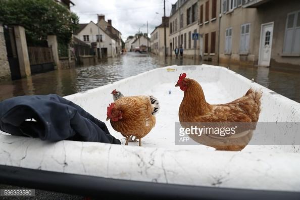 Hai chú gà cũng được di dời. Ảnh: AFP