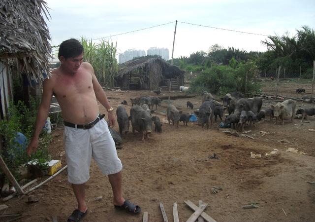 Ông Lộc tận dụng khu đất rộng lớn và nguồn thức ăn tự nhiên dồi dào bên trong khu dự án để chăn thả đàn lợn gần 50 con của ông.