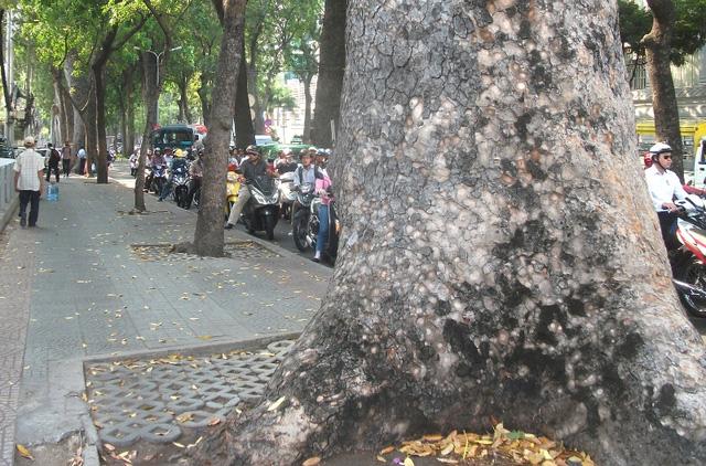 Có những cây cổ thụ phải đến 3 người vòng tay vẫn chưa ôm hết gốc.