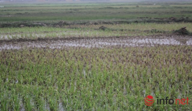 Hàng ngàn ha lúa bị chết vì rét kéo dài tại Hà Tĩnh (ảnh: Quang Mậu)