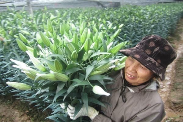 Để cứu vãn, nhiều hộ dân phải cắt hoa ly, ủ lạnh để dành bán vào rằm tháng chạp.
