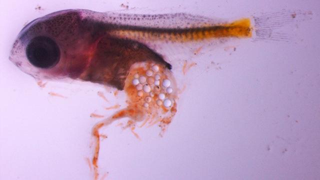 Một ấu trùng cá trinh nữ chứa rất nhiều hạt vi nhựa.