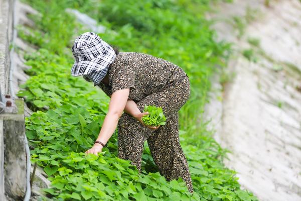 Vừa hái rau, chị Thu Hương (45 tuổi) cho biết, người dân ở đây bắt đầu tận dụng hộc bê tông để trồng rau từ khi hồ được hoàn thành. Theo chị, kỹ thuật trồng rau trong các hốc đất nhỏ giống như trồng trên các thùng xốp sân thượng được nhiều người tận dụng trước đây. Tuy nhiên, rau trồng ven hồ lên nhanh và tốt hơn do nhận được đủ sáng.