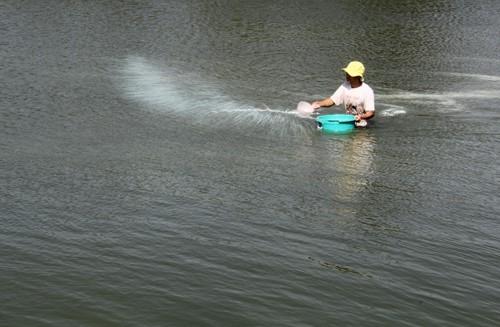 Hết vụ lúa, anh Nguyễn Văn Minh quây nước mặn nuôi tôm