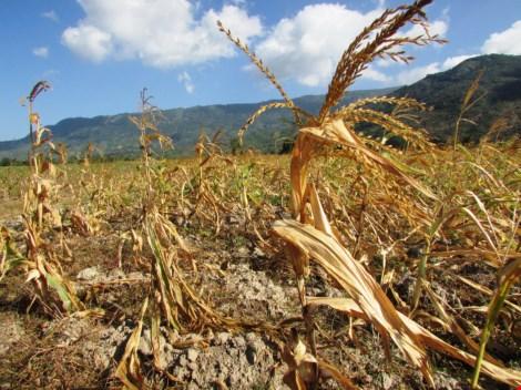 Bắp trồng ngay dưới lòng hồ Sông Sắt, huyện Bác Ái cũng phải quắt queo vì nắng nóng.