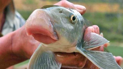 Cá anh vũ hay còn có tên gọi khác là cá Tiến Vua, là một trong những loại cá nổi tiếng nhất của Việt Nam bởi sự quý hiếm và ngon miệng.