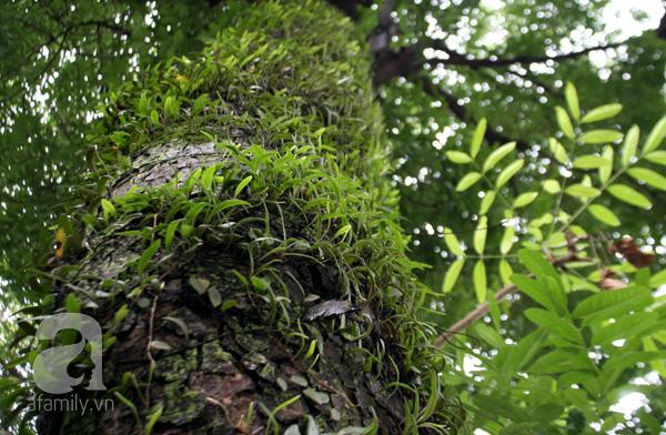 Rất nhiều người tiếc nuối khi hàng cây sẽ bị chặt hạ sau Tết Nguyên đán.