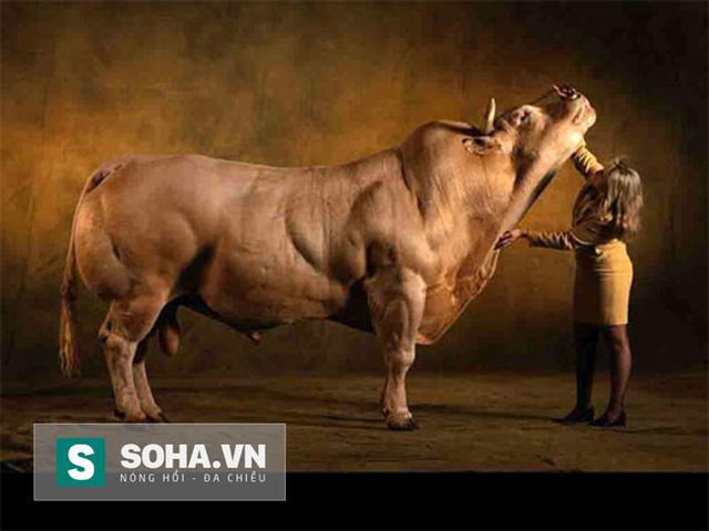 Sử dụng salbutamol bổ sung trong thức ăn gia súc để làm tăng tỷ lệ thịt nạc, giảm mỡ.