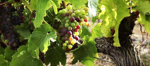 Ethylene là hóa chất chủ chốt kích thích quá trình chín trái cây