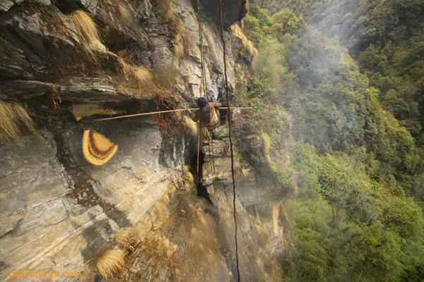 Những thợ săn ong cho biết, việc khó nhất là cắt phần tổ ong chứa mật rơi đúng chiếc rổ lớn hứng phía dưới. Họ phải thực hiện nhiệm vụ này khi đu mình trên chiếc thang dây dài 50 m thả từ đỉnh vách đá. Công cụ lấy mật là hai cây trúc dài, được người dân địa phương gọi là Tangos.