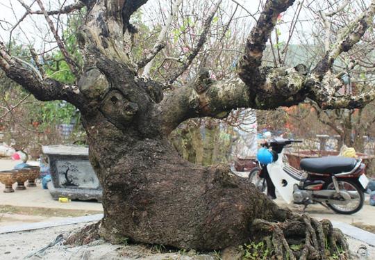 Toàn cảnh và cận cảnh cây đào được chào giá 50 triệu đồng.