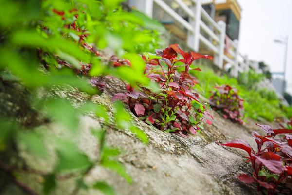 Đa phần rau được trồng là những loại rau ngắn ngày, nhanh cho thu hoạch như rau muống, rau dền, mồng tơi, lang… diếp cá.