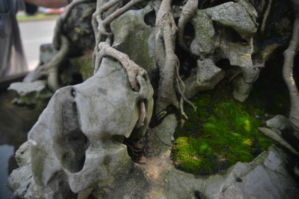 """Gốc cây sanh ngậm lấy hai khối đá to trông như một """"mâm xôi con gà""""."""