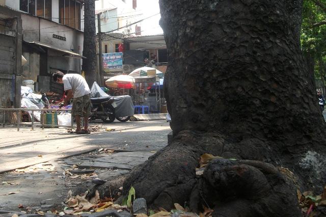 Tại đây có những góc cây với bộ rễ đâm xuyên sang bên kia đường cả trăm mét.