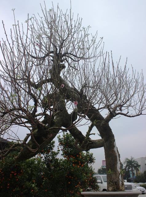 Gốc đào của ông Nguyễn Hiền ở Nông Cống được chào bán 55 triệu đồng