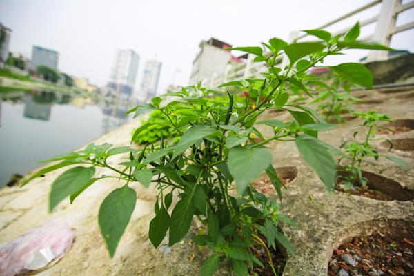 Thậm chí là cả cà chua, ớt và xu hào cũng có thể lớn lên tươi tốt trên những hốc đất nhỏ như thế này.