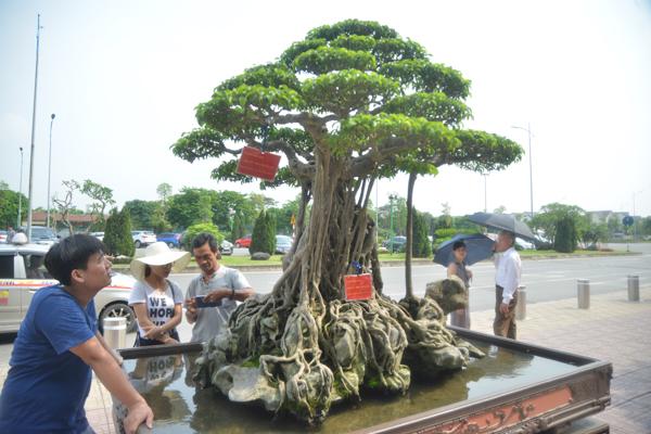 Nhiều người dừng lại chiêm ngưỡng và chụp ảnh cây cổ thụ giá triệu đô này.