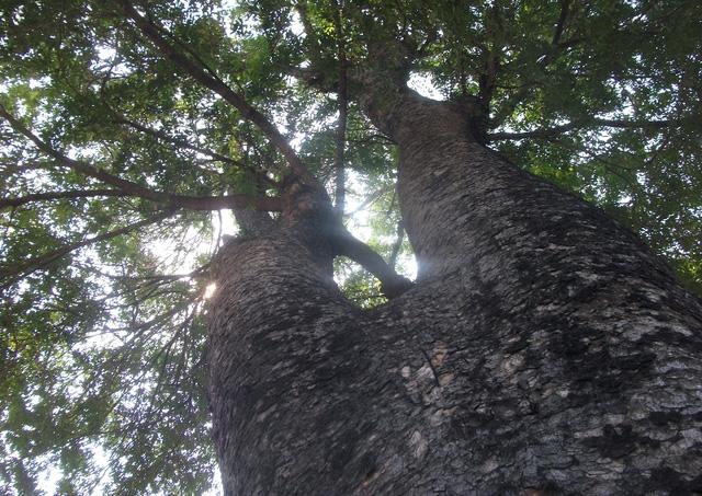 Một cây cổ thụ nằm trong danh sách phải hy sinh vào ngày 26/3 tới.