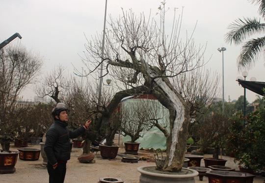 Ông Hiền cho biết cây đào này có tuổi đời trên 30 năm, được ông đưa về từ Quảng Ninh mấy năm trước.