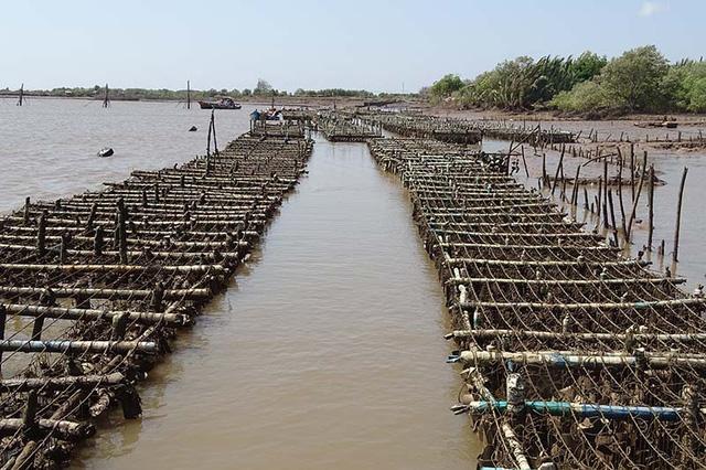 Người dân cho biết, hàu chết là do nước nhiễm mặn quá cao.