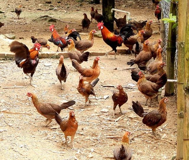 Đàn gà rừng ở trang trại bà Xuân.