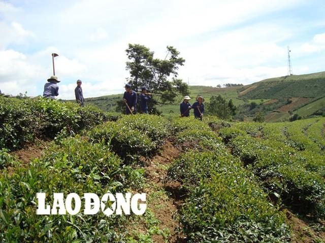 Trồng trà tại nhà máy của Công ty Hà Linh.
