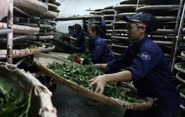 Xử lý trà ô long tươi bằng nong tre để tránh phát sinh tạp chất trong sản xuất của Công ty Fusheng.