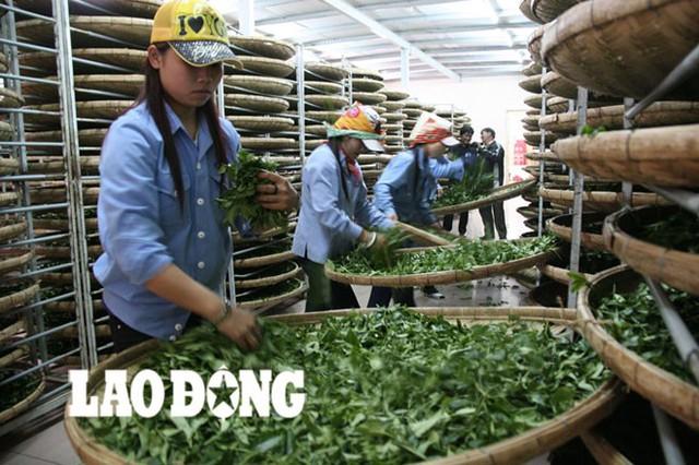 Chế biến trà tại nhà máy của Công ty Hà Linh.