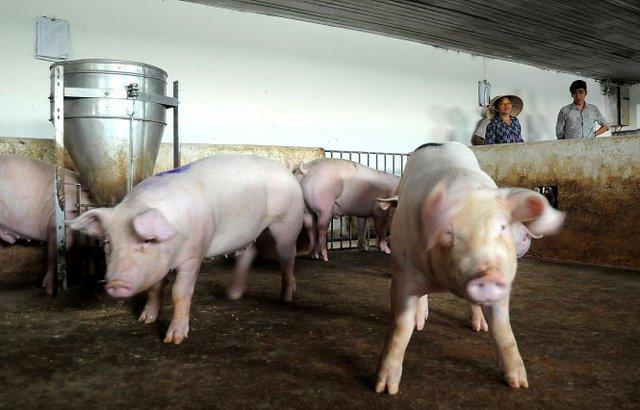 Trại chăn nuôi heo tại xã Tân An, huyện Vĩnh Cửu, Đồng NaiẢnh: A LỘC