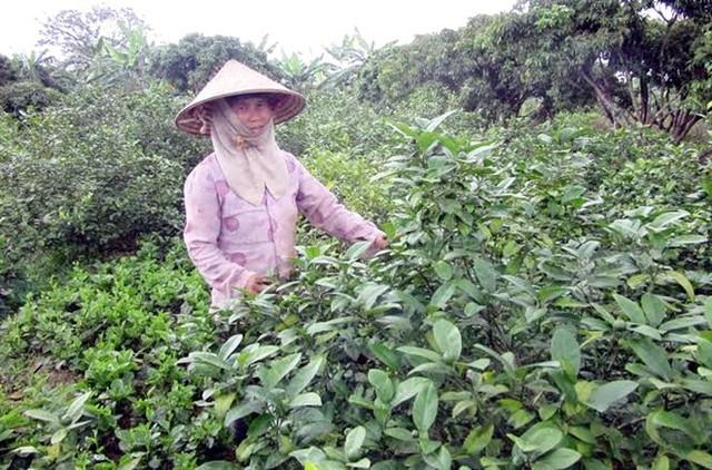 Lá chanh miền Bắc thơm hơn, giá cao hơn nhưng cho ít lá.