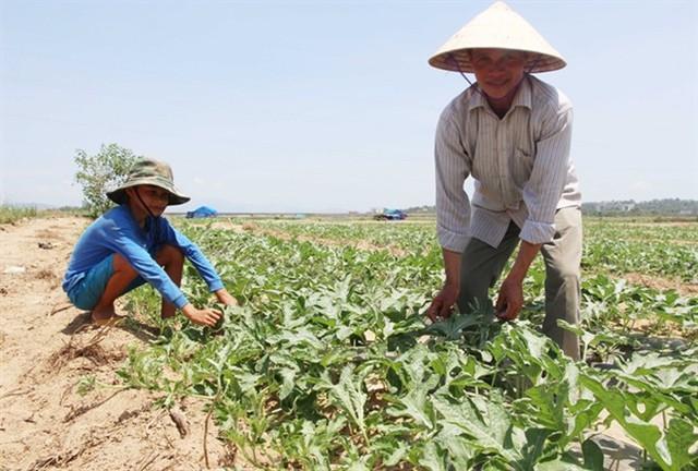 Hai cha con anh Cù Văn Thương chăm sóc dưa.