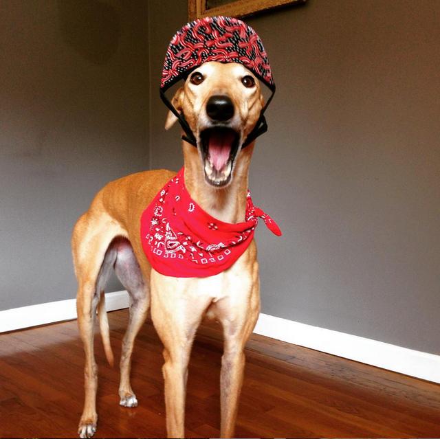 Hình ảnh chú chó nhà Frugal ăn vận đẹp đẽ vào ngày 4 tháng 7 (Quốc khánh Mỹ)
