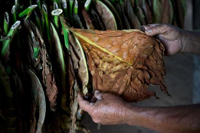 Tại các trang trại hữu cơ như Montesino, người dân không được sử dụng thuốc bảo vệ thực vật hoặc phân bón hóa học mà phải bắt côn trùng, sâu bọ bằng tay