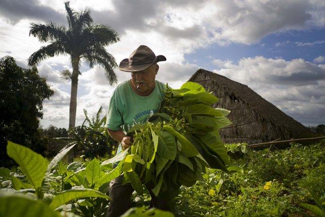 Cây thuốc lá được trồng vào cuối năm và sau 3 tháng người ta có thể thu hoạch được lá