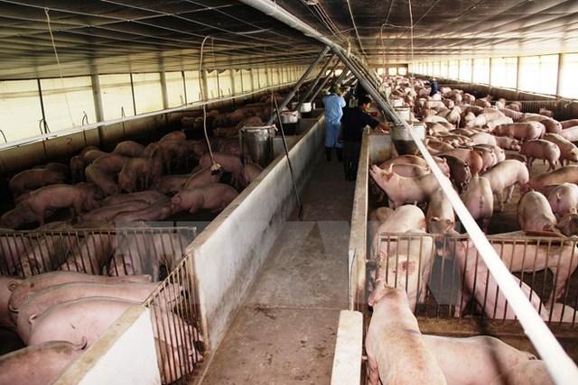 Trang trại nuôi lợn hợp đồng nuôi gia công cho Công ty Cổ phần Chăn nuôi C.P Việt Nam tại Tây Ninh. Ảnh: Lê Đức Hoảnh