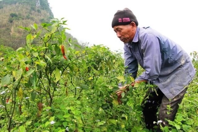 Ông Nguyễn Văn Minh (62 tuổi, xã Hoa Sơn, huyện Anh Sơn, Nghệ An) phải nhổ bỏ cây ớt đang cho thu hoạch