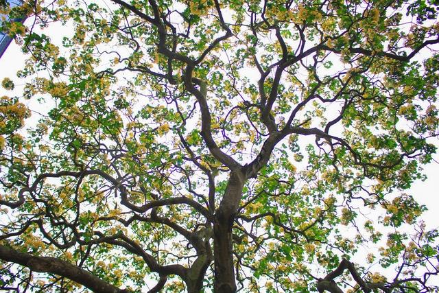Không ai biết chính xác tuổi đời của cây hoa bún, nhưng ước phải tới hàng trăm năm. Hoa bún từ lâu được những người dân nơi đây ví như cây đa xuất hiện trong mỗi làng quê Việt Nam.