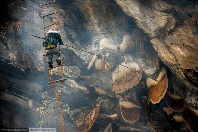Ong mật trên dãy Himalaya làm tổ trên những vách núi cao dựng đứng. Để lấy mật ong, người ta phải đu mình trên những chiếc thang dây mỏng manh để xuống vị trí thích hợp. Từ đây, người lấy mật sẽ dùng que dài chọc thẳng vào tổ ong, làm cho những mảng sáp ong chứa mật rơi xuống chiếc rổ bên dưới.