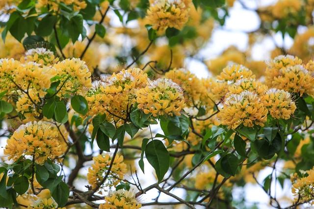 Hoa bún chỉ nở duy nhất một lần trong năm vào mỗi đợt cuối tháng 3 hoặc đầu tháng 4 dương lịch và sau 1 tháng sẽ tàn.