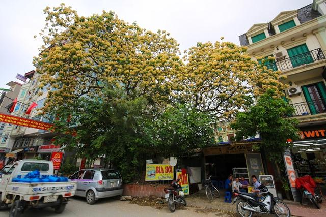 Loài cây này ở Việt Nam được trồng nhiều ở một số tỉnh như Huế, Quảng Nam, Ninh Thuận... nhưng ở Hà Nội lại rất hiếm thấy. Hiện nay, chỉ có cây bún ở làng Đình Thôn là to và đẹp nhất.