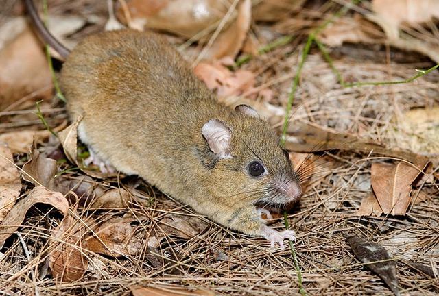 Loài chuột melomys