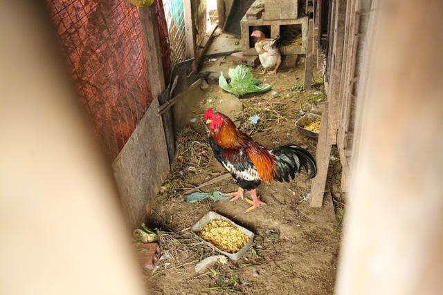 Hiện Tùng đang nuôi gần 50 con gà mái, trống và gà con. Thức ăn chủ yếu là thóc và rau xanh giúp phân gà sạch, không có mùi.