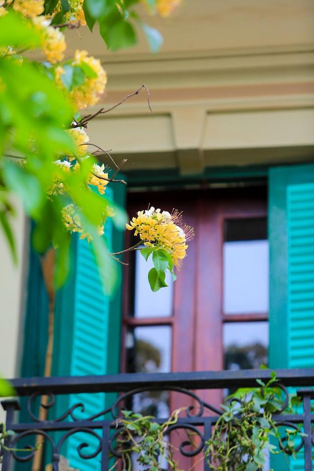 Hoa bún nở thành từng chùm lớn ở những đầu cành. Hoa có 2 màu trắng và vàng cùng nở trên một bông.