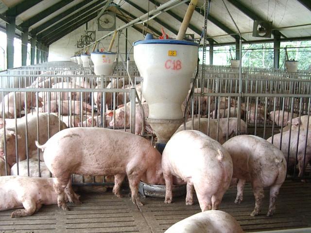 Chất cấm Salbutamol được người chăn nuôi bổ sung trong thức ăn gia súc để làm tăng tỷ lệ thịt nạc, giảm mỡ. Ảnh: Tuổi trẻ.