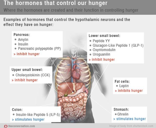 Những cơ quan hóc môn kiểm soát cơn đói của cơ thể.
