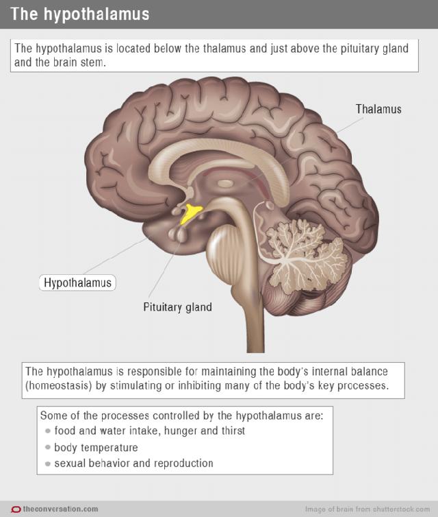 Bộ phận Hypothalamus kiểm ở não người kiểm soát sự cân bằng hóc môn cơ thể, bao gồm kích thích sự đói khát và tìm kiếm thức ăn.